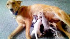 """Madre canina """"adopta"""" una camada de 5 gatitos necesitados después de que su madre desapareció"""