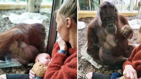 Mamá comparte emotivo momento en que orangután hembra que perdió a su cría la ve amamantado a su hijo