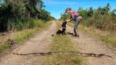 Perros se convierten en cazadores con éxito de pitones birmanas en Florida
