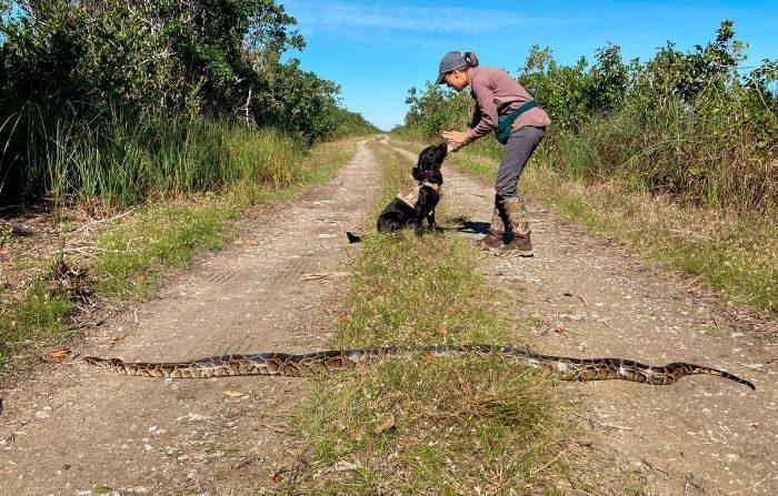"""Una pitón birmana pasa frente a """"Truman"""", un perro de raza retriever entrenado para detectar las invasivas pitones birmanas en Florida y su cuidador Paula. (Fotografía cortesía de FWC)"""