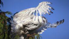 Fotógrafo captura impresionantes imágenes del búho nival en Washington en un momento excepcional
