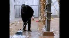"""Chimpancé barriendo su jaula es captada en video: """"¡Encontramos al personal de limpieza adecuado!"""""""