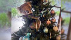 Mujer australiana descubre un koala rebelde en su árbol de navidad