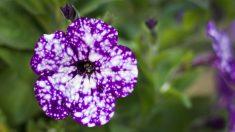 """Las """"flores de la galaxia"""" pueden añadir magia cósmica a su jardín con un poco de esfuerzo y dedicación"""