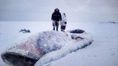Cazadores de focas de Nunavut encuentran el cadáver de una ballena boreal en el hielo