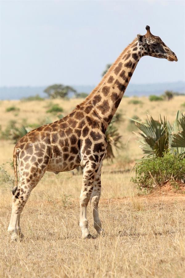 La jirafa Gimli, este viernes 8 de enero de 2021 en el Parque Nacional Murchison Falls en Uganda, que según los científicos posee huesos metacarpianos y radiales más cortos, pero un cuello de tamaño normal que otras jirafas de su edad. Científicos de la Fundación para la Conservación de Jirafas (GCF, por sus siglas en inglés) han documentado por primera vez la existencia de dos jirafas enanas en Uganda y Namibia, confirmó en un comunicado la organización, que trabaja para la supervivencia de estos animales en 16 países africanos. EFE/Michael Brown