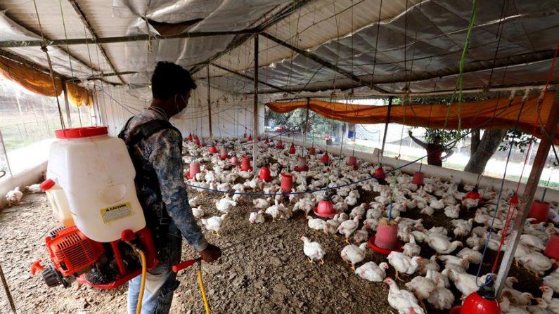 Las autoridades indias informaron el 7 de enero de 2021 de que están tratando de contener la propagación de la gripe aviar tras detectarse brotes en cuatro estados del país, con el peligro añadido de que la enfermedad infecte también a humanos. EFE/SANJEEV GUPTA