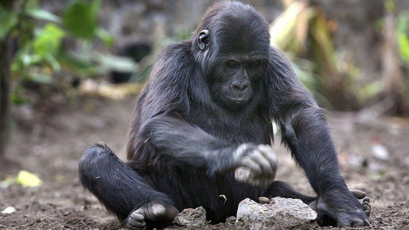 Imagen de un gorila huérfano de tres años que rompe una nuez de palma con una piedra. (Foto de John Moore / Getty Images)