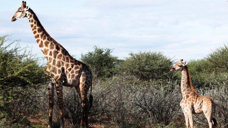 La jirafa enana Nigel (d), junto a una jirafa de tamaño normal, en una granja privada en el centro de Namibia. EFE/CIS/Emma Wells