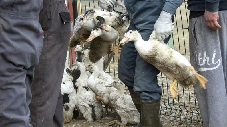 Patos son llevados a un matadero para evitar que se extienda una epidemia de gripe aviar, procedente de la granja de Hazard, en Saint-Aubin, Francia. EFE/Caroline Blumberg
