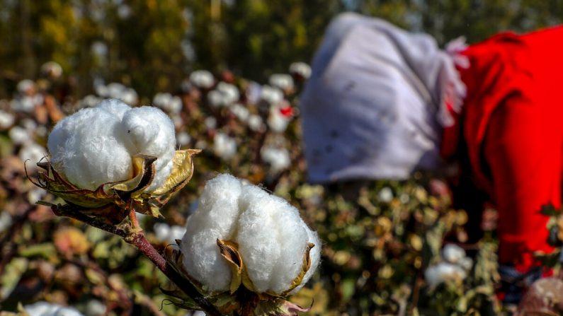 Una campesina recogiendo algodón en un campo de Hami, en la región noroccidental de Xinjiang, China, el 14 de octubre de 2018. (STR/AFP vía Getty Images)