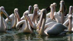 750 pelícanos mueren por la gripe aviar en Senegal