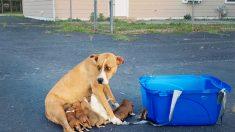 Mamá boxer abandonada con 9 cachorros en estacionamiento encuentra una familia en Navidad