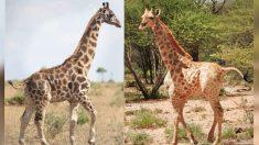 Científicos africanos descubren dos jirafas con enanismo, un poco más altas que los humanos