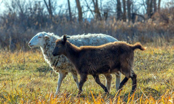 Las ovejas y las cabras han representado durante mucho tiempo a la derecha y a la izquierda, respectivamente, con base en un pasaje de la Biblia. (Zahaoha/pixabay.com)