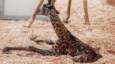 Bebé jirafa muere en el zoológico de Nashville tras ser pisada por su madre