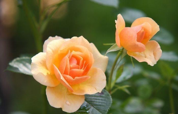 Considere agregar algo de belleza a su jardín con una de estas galardonadas variedades de rosas. (reinbacher/Pixabay)