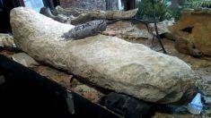 Descubren en Argentina la cola de un armadillo gigante de hace 700,000 años