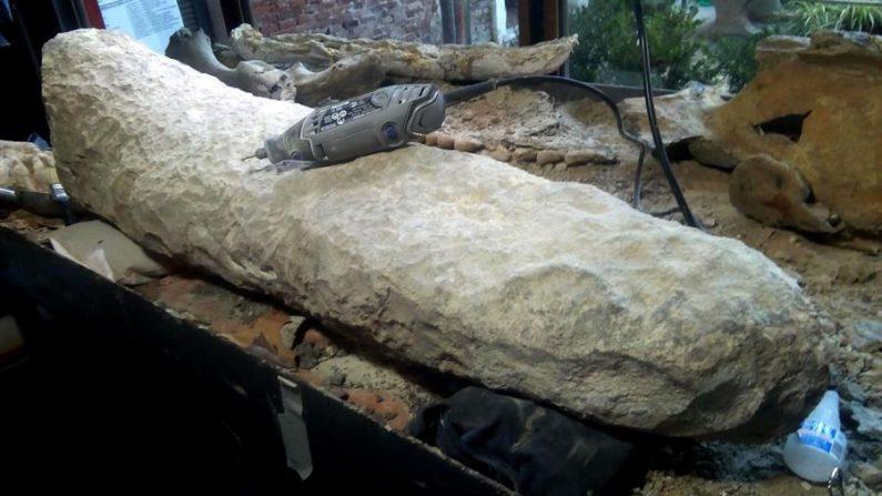 Fotografía cedida por el Museo Paleontológico de San Pedro, ubicado en la provincia de Buenos Aires (Argentina), que muestra una cola fosilizada de un armadillo gigante que vivió en el final de la edad Ensenadense, hace más de 700,000 años. EFE/ Museo Paleontológico