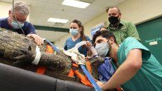 Operan a enorme hembra de cocodrilo en Florida para sacarle un zapato