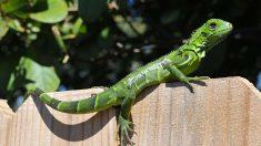 """Pronostican """"lluvia de iguanas"""" en el sur de Florida por bajas temperaturas"""