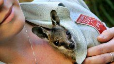 Cuidadora salva 750 canguros bebés huérfanos en peligro de muerte para devolverlos a la naturaleza
