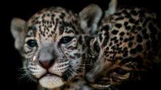 Nacen dos cachorros de jaguar de una rara pareja felina en peligro de extinción en Argentina