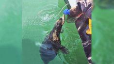 Amistad que perdura: Una foca sale a saludar todos los días a un pescador desde hace 10 años