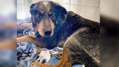 Perro fiel custodia el cuerpo de su dueño que murió en la nieve, ahora tiene un nuevo hogar