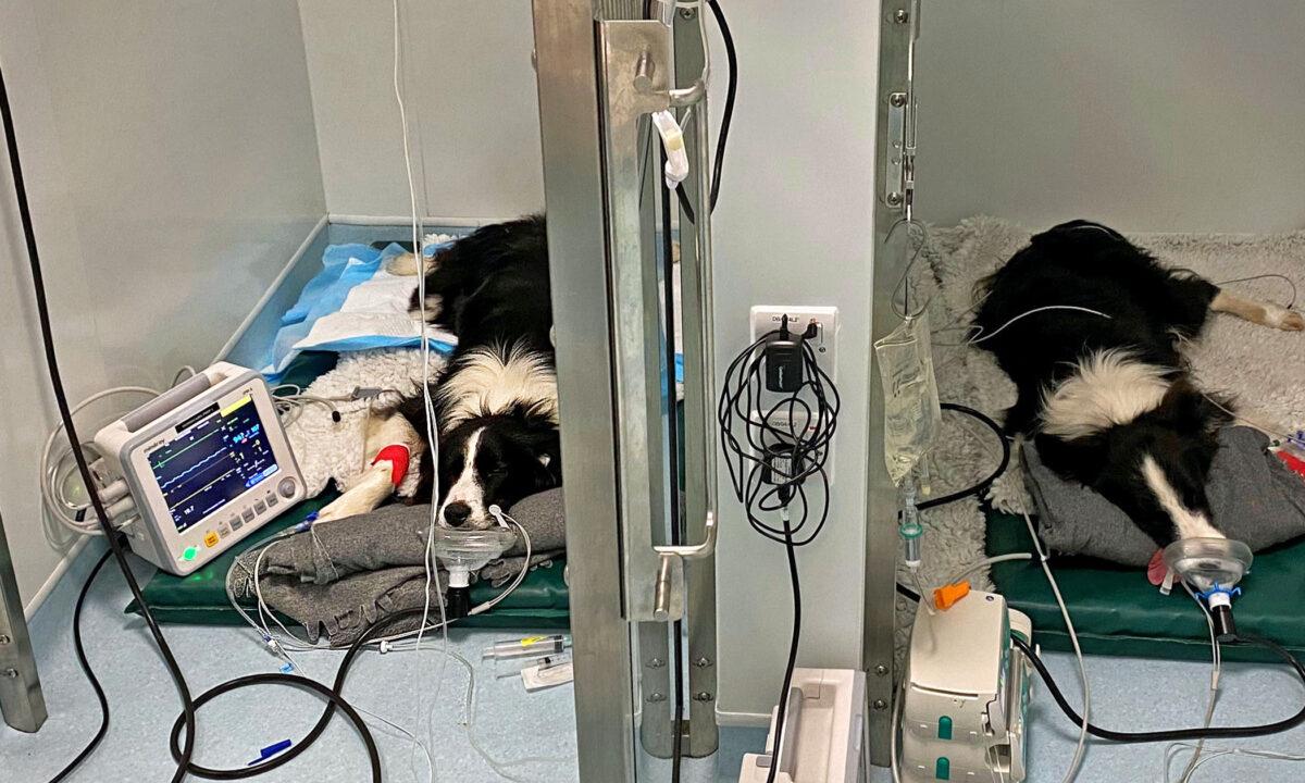 Dos perritos Border Collies estuvieron en la UCI tras comer desechos con moho dejados en el suelo
