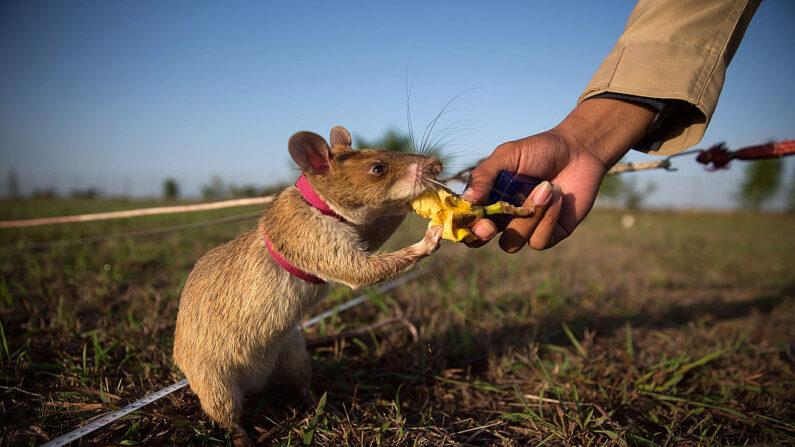 Una rata detectora de minas recibe un plátano como recompensa tras identificar con éxito una mina inactiva en Siem Reap, Camboya. (Taylor Weidman/Getty Images)