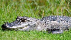 Caimán hiere de gravedad a un hombre en un parque de Florida