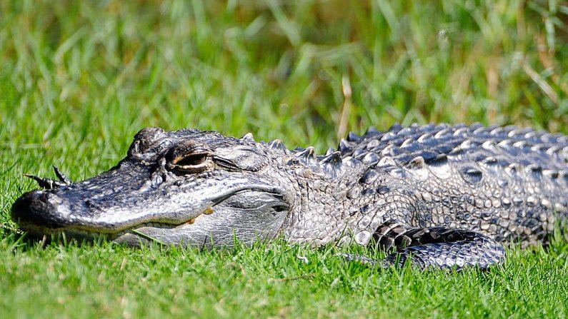 En la imagen, un caimán toma el sol en Palm Coast, Florida. (Sam Greenwood / Getty Images)