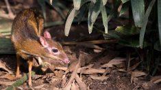 Nace diminuta cría de ciervo ratón en zoológico de Inglaterra: ¡Pesó 370 gramos!