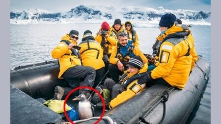 Pingüino se salva de ser devorado por manada de orcas: ¡Decidió saltar dentro de un bote de turistas!