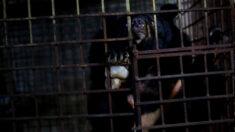 Rescatan a dos osos enjaulados durante 17 años en sótano oscuro para explotación de bilis en Vietnam