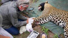 Rescatistas salvan a leopardo herido por una trampa. ¡Las fotos son increíbles!