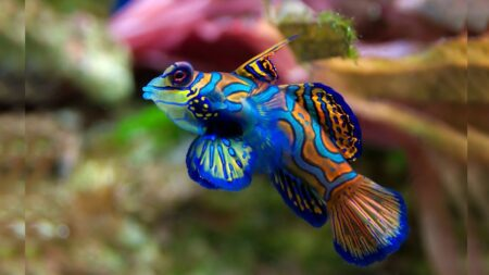 """Colorido """"pez mandarín"""" es hermoso, pero le contamos por qué nunca debe tocarlo"""