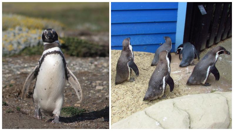 Pingüinos recorren las calles de Ciudad del Cabo en un ambiente libre de humanos por la cuarentena