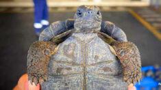 Aeropuerto de Ecuador incauta 185 tortugas galápagos bebés envueltas en plástico en una maleta