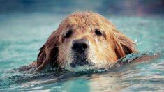 Golden retriever de 3 años perdido aparece después de 16 días: ¡Lo encontraron nadando en una bahía!