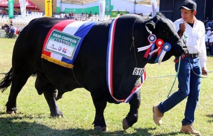 Paraguay es uno de los principales productores y exportadores de carne bovina en Suramérica. En la imagen el registro de un ejemplar de un toro Brangus paraguayo. (EFE/Andrés Cristaldo/Archivo)