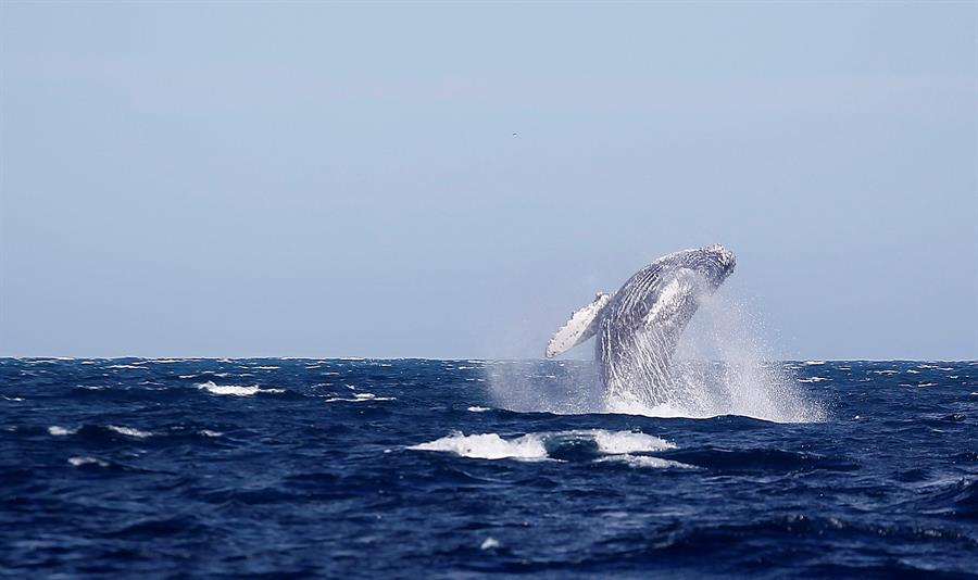 Rusia prohibirá la caza de ballenas y delfines