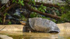 Encuentran tortuga en Galápagos que se creía extinguida hace más de cien años