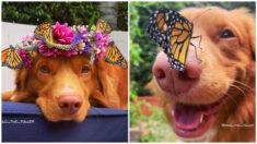Milo, el perrito encantador de mariposas: su hocico las atrae y aterrizan sobre él