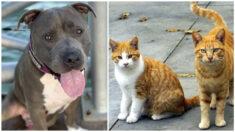 Pitbull adoptado que vive con gatos cree que es uno de ellos: ¡Salta sobre mesas pequeñas!
