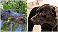 Hombre rescata a su perro de las mandíbulas de un feroz caimán en Florida
