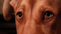 """Adoptan a perrito mexicano con una lengua tan larga que la arrastra por el suelo: """"es extra adorable"""""""