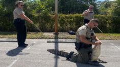 Capturan en Florida caimán que perseguía a clientes afuera de un restaurante