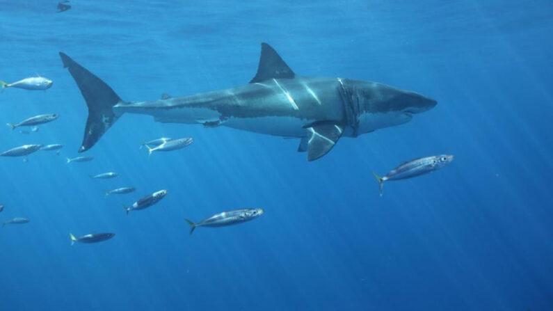 Fotografía del 2 de noviembre de 2018, que muestra un ejemplar de tiburón blanco (Carcharodon carcharias), en aguas de Isla Guadalupe en Ensenada, Baja California (México). EFE/Isabel Reviejo/Archivo